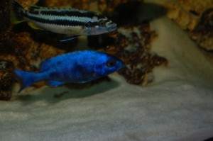 Melanochromis northern blue